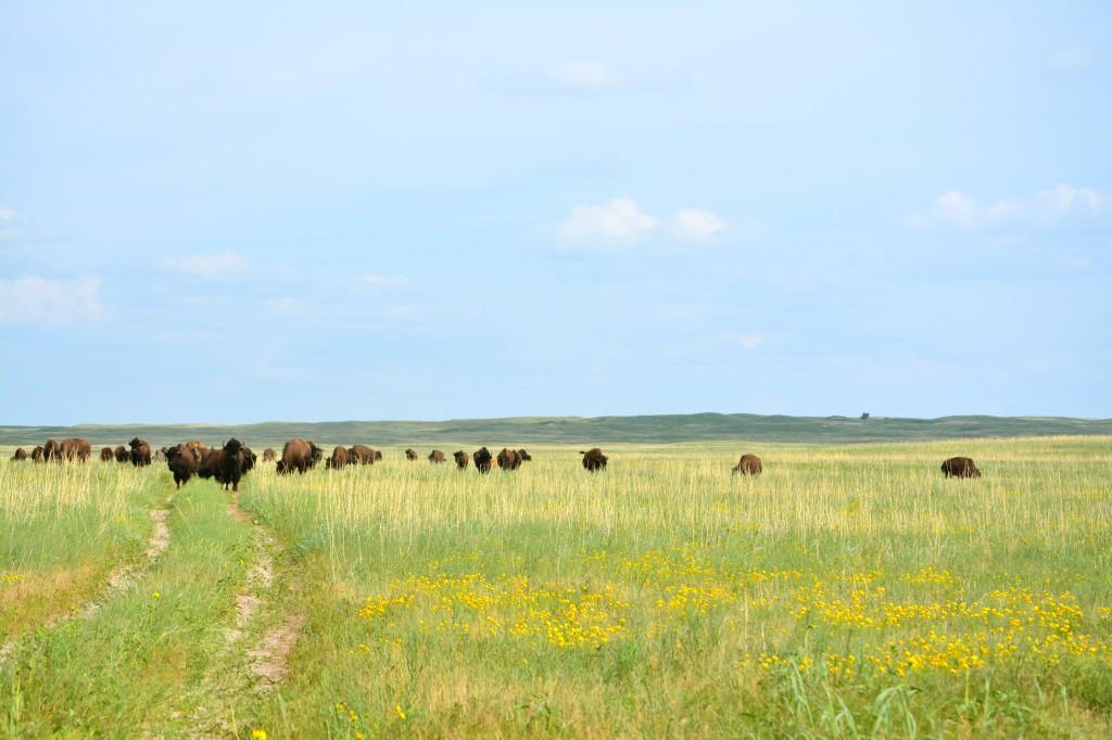 Buffalo at the Niobrara National Wildlife Refuge. (photo by Ann Teget for www.postcardjar.com)