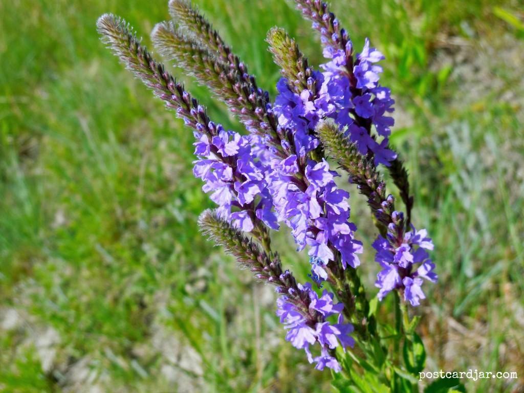 Wildflowers in Nebraska. (photo by Ann Teget for www.postcardjar.com)