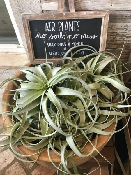 Magnolia Market air plants