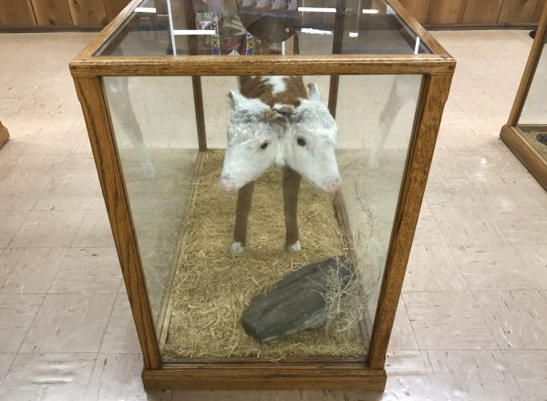 Two-headed calf, Fort Cody Trading Post, North Platte, Nebraska
