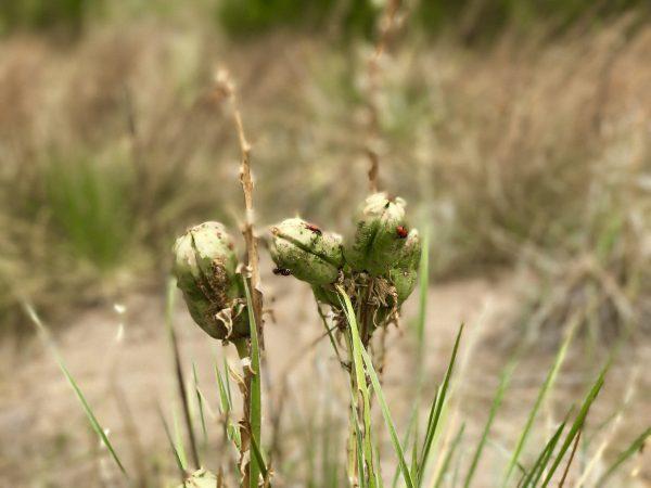Sandhills flora, Nebraska
