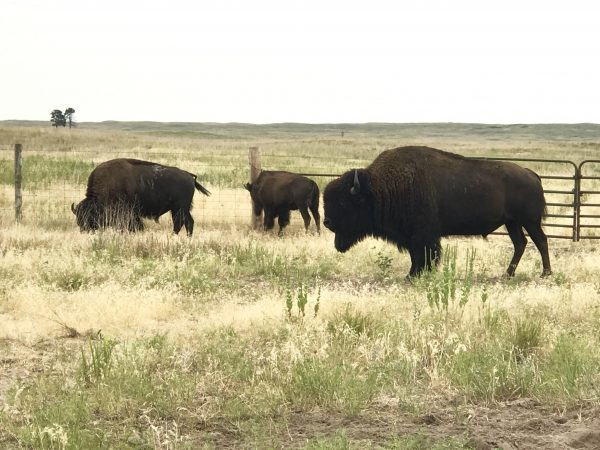 Fort Niobrara Wildlife Refuge bison, Valentine, Nebraska