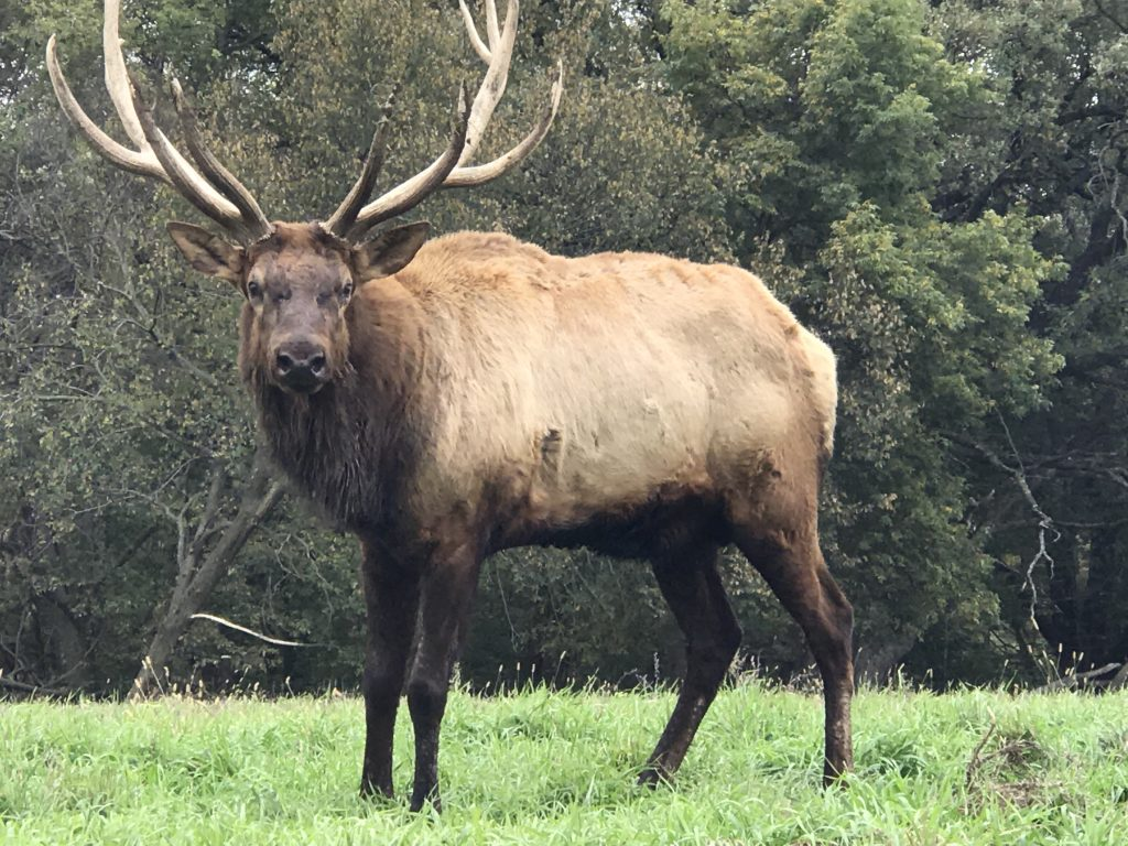 Elk at the Lee G. Simmons Conservation Park and Wildlife Safari.