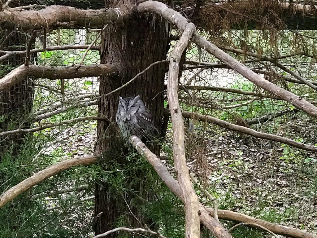 An owl nestled in a tree at American white pelicans at the Lee G. Simmons Conservation Park & Wildlife Safari.