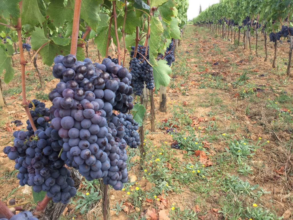Grapes on the vine in Italy