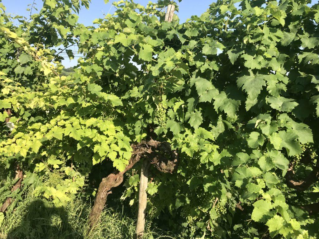 Prosecco region grapes