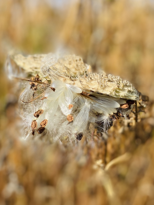 milkweed seeds bursting from pods