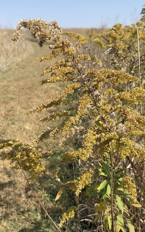 dried goldenrod at spring creek prairie