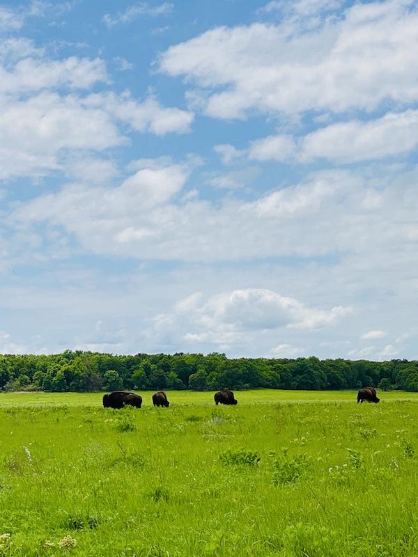 Things to do outdoors in Pawhuska Tallgrass Prairie Preserve bison